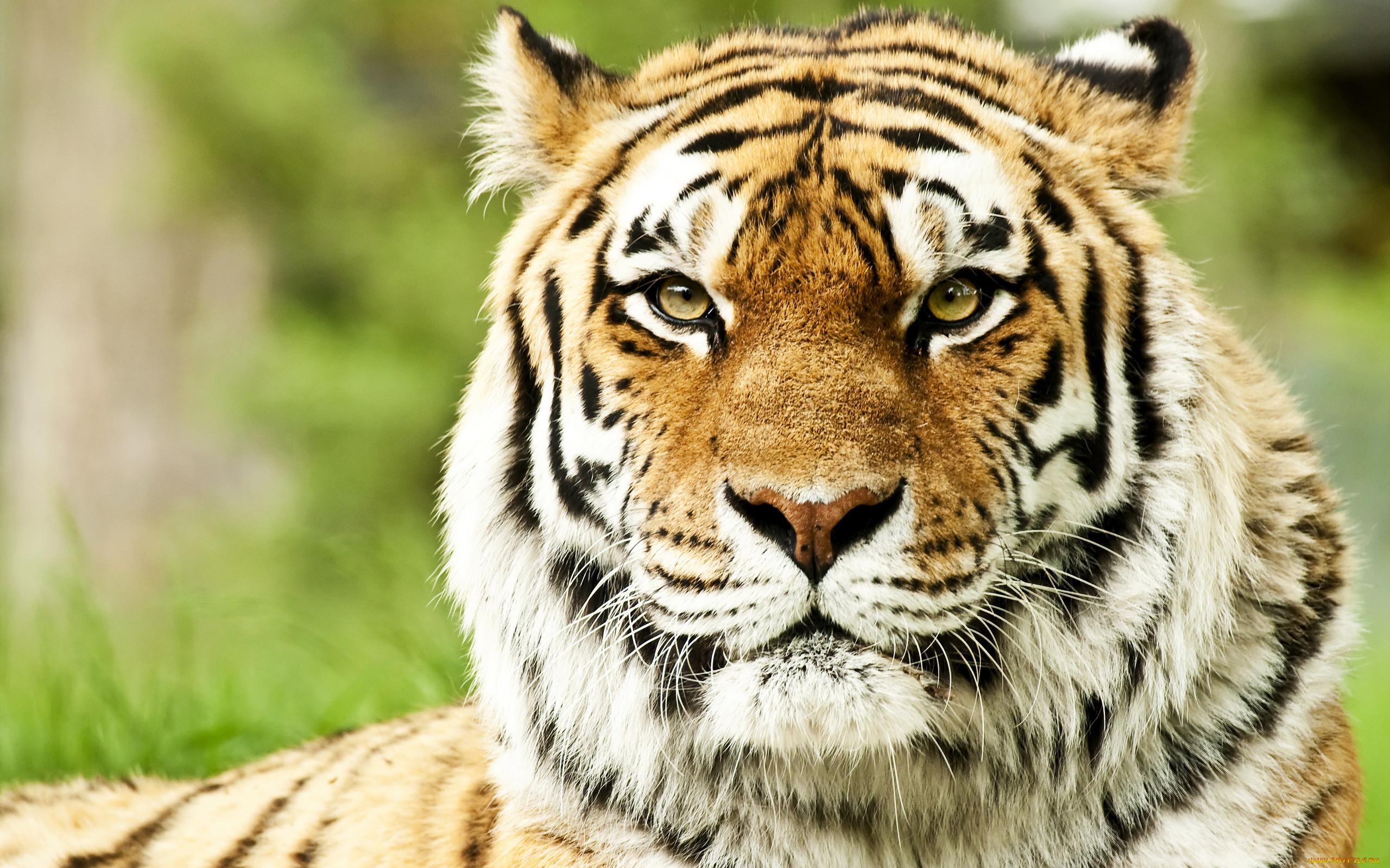 тигры картинки высокого качества всего